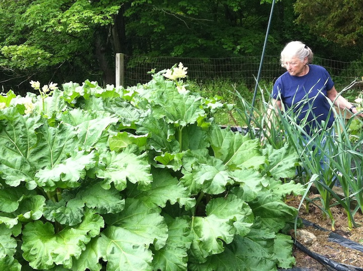 Rhubarb and garlic